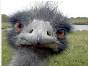 ostrich. Or me.